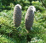 Abies balsamea: fruits 2