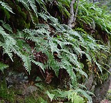 Polypodium virginianum: plant form 1