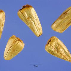Fruits: Acorus calamus. ~ By Steve Hurst. ~  Public Domain. ~  ~ USDA-NRCS Plants Database - plants.usda.gov/java/