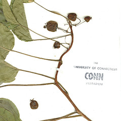 Fruits: Actinidia arguta. ~ By CONN Herbarium. ~ Copyright © 2021 CONN Herbarium. ~ Requests for image use not currently accepted by copyright holder ~ U. of Connecticut Herbarium - bgbaseserver.eeb.uconn.edu/
