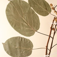 Leaves: Actinidia arguta. ~ By New England Botanical Club. ~ Copyright © 2020 New England Botanical Club. ~ No permission needed for non-commercial uses, with proper credit