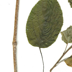 Winter buds: Actinidia arguta. ~ By CONN Herbarium. ~ Copyright © 2021 CONN Herbarium. ~ Requests for image use not currently accepted by copyright holder ~ U. of Connecticut Herbarium - bgbaseserver.eeb.uconn.edu/