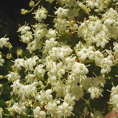 Flowers: Sambucus nigra. ~ By Glen Mittelhauser. ~ Copyright © 2019 Glen Mittelhauser. ~ www.mainenaturalhistory.org