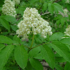 Flowers: Sambucus racemosa. ~ By Arthur Haines. ~ Copyright © 2020. ~ arthurhaines[at]wildblue.net