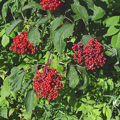 Fruits: Sambucus racemosa. ~ By Donald Cameron. ~ Copyright © 2020 Donald Cameron. ~ No permission needed for non-commercial uses, with proper credit