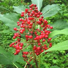 Fruits: Sambucus racemosa. ~ By Donna Kausen. ~ Copyright © 2020 Donna Kausen. ~ 33 Bears Den, Addison, ME 04606