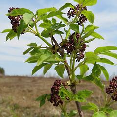Plant form: Sambucus racemosa. ~ By Donna Kausen. ~ Copyright © 2020 Donna Kausen. ~ 33 Bears Den, Addison, ME 04606