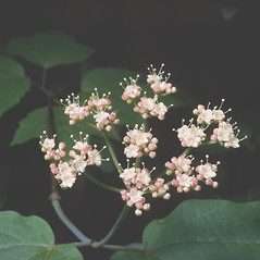 Flowers: Viburnum acerifolium. ~ By Frank Bramley. ~ Copyright © 2020 New England Wild Flower Society. ~ Image Request, images[at]newenglandwild.org