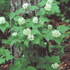 Plant form: Viburnum acerifolium. ~ By Arieh Tal. ~ Copyright © 2021 Arieh Tal. ~ http://botphoto.com/ ~ Arieh Tal - botphoto.com