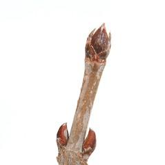 Winter buds: Viburnum dentatum. ~ By Arieh Tal. ~ Copyright © 2020 Arieh Tal. ~ www.nttlphoto.com ~ Arieh Tal - www.nttlphoto.com