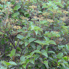 Plant form: Viburnum dentatum. ~ By Arthur Haines. ~ Copyright © 2020. ~ arthurhaines[at]wildblue.net