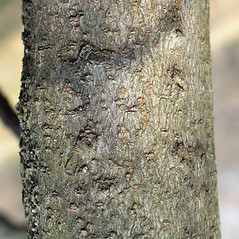 Bark: Viburnum dilatatum. ~ By Bruce Patterson. ~ Copyright © 2020 Bruce Patterson. ~ foxpatterson[at]comcast.net