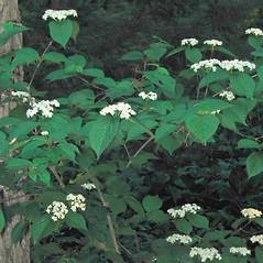 Plant form: Viburnum dilatatum. ~ By Alexey Zinovjev. ~ Copyright © 2019. ~ webmaster[at]salicicola.com ~ Salicicola - www.salicicola.com/