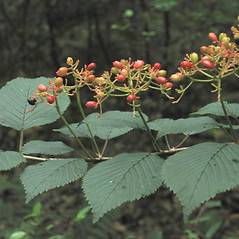Leaves: Viburnum lantana. ~ By Alexey Zinovjev. ~ Copyright © 2019. ~ webmaster[at]salicicola.com ~ Salicicola - www.salicicola.com/