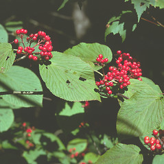 Fruits: Viburnum lantanoides. ~ By Frank Bramley. ~ Copyright © 2021 New England Wild Flower Society. ~ Image Request, images[at]newenglandwild.org