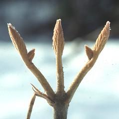 Winter buds: Viburnum lantanoides. ~ By Carol Levine. ~ Copyright © 2020 Carol Levine. ~ carolflora[at]optonline.net