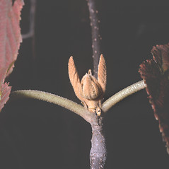 Winter buds: Viburnum lantanoides. ~ By Frank Bramley. ~ Copyright © 2020 New England Wild Flower Society. ~ Image Request, images[at]newenglandwild.org