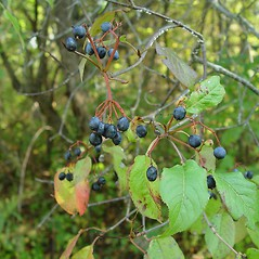 Fruits: Viburnum lentago. ~ By Arthur Haines. ~ Copyright © 2020. ~ arthurhaines[at]wildblue.net