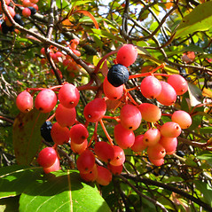 Fruits: Viburnum nudum. ~ By Donna Kausen. ~ Copyright © 2021 Donna Kausen. ~ 33 Bears Den, Addison, ME 04606