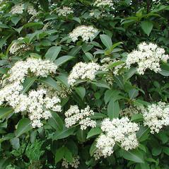 Plant form: Viburnum nudum. ~ By Donna Kausen. ~ Copyright © 2020 Donna Kausen. ~ 33 Bears Den, Addison, ME 04606
