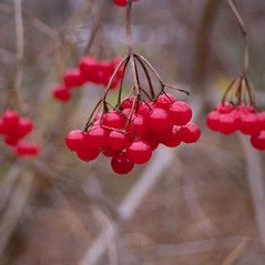 Fruits: Viburnum opulus. ~ By Roland Boutwell. ~ Copyright © 2021 Roland Boutwell. ~ Requests for image use not currently accepted by copyright holder