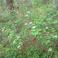 Plant form: Viburnum opulus. ~ By Paul Somers. ~ Copyright © 2020 New England Wild Flower Society. ~ Image Request, images[at]newenglandwild.org