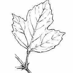 Leaves: Viburnum opulus. ~ By Gordon Morrison. ~ Copyright © 2019 New England Wild Flower Society. ~ Image Request, images[at]newenglandwild.org