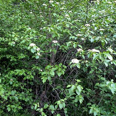 Plant form: Viburnum prunifolium. ~ By Douglas McGrady. ~ Copyright © 2021 Douglas McGrady. ~ demcgrady[at]hotmail.com