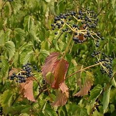 Fruits: Viburnum rafinesquianum. ~ By Steve Garske. ~ Copyright © 2021 Steve Garske. ~ asimina[at]alphacomm.net