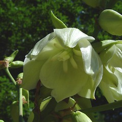 Flowers: Yucca filamentosa. ~ By Arthur Haines. ~ Copyright © 2021. ~ arthurhaines[at]wildblue.net
