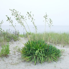 Plant form: Yucca filamentosa. ~ By Arthur Haines. ~ Copyright © 2021. ~ arthurhaines[at]wildblue.net