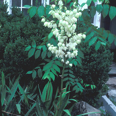 Plant form: Yucca filamentosa. ~ By Jean Baxter. ~ Copyright © 2021 New England Wild Flower Society. ~ Image Request, images[at]newenglandwild.org