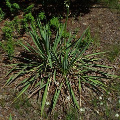 Leaves: Yucca filamentosa. ~ By Arthur Haines. ~ Copyright © 2021. ~ arthurhaines[at]wildblue.net