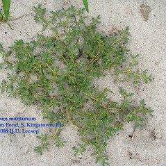 Plant form: Sesuvium maritimum. ~ By Hope Leeson. ~ Copyright © 2021 Hope D. Leeson. ~ hdleeson[at]gmail.com