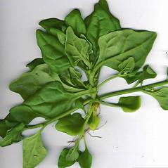 Leaves: Tetragonia tetragonioides. ~ By Forest & Kim Starr. ~ Copyright © 2021 CC BY-NC 3.0. ~  ~ Bugwood - www.bugwood.org/
