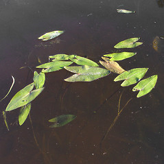 Leaves: Sagittaria cuneata. ~ By Donald Cameron. ~ Copyright © 2021 Donald Cameron. ~ No permission needed for non-commercial uses, with proper credit