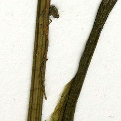 Stems: Sagittaria cuneata. ~ By CONN Herbarium. ~ Copyright © 2021 CONN Herbarium. ~ Requests for image use not currently accepted by copyright holder ~ U. of Connecticut Herbarium - bgbaseserver.eeb.uconn.edu/