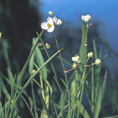 Flowers and fruits: Sagittaria graminea. ~ By Frank Bramley. ~ Copyright © 2021 New England Wild Flower Society. ~ Image Request, images[at]newenglandwild.org