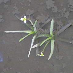 Plant form: Sagittaria montevidensis. ~ By Bruce Patterson. ~ Copyright © 2020 Bruce Patterson. ~ foxpatterson[at]comcast.net