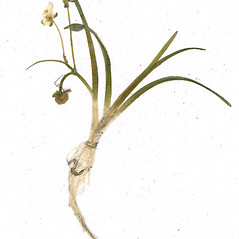 Inflorescences: Sagittaria subulata. ~ By CONN Herbarium. ~ Copyright © 2020 CONN Herbarium. ~ Requests for image use not currently accepted by copyright holder ~ U. of Connecticut Herbarium - bgbaseserver.eeb.uconn.edu/