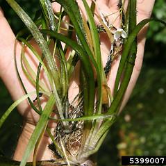 Leaves: Sagittaria subulata. ~ By Robert Vid_ki. ~ Copyright © 2021 CC BY-NC 3.0. ~  ~ Bugwood - www.bugwood.org/