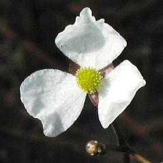 Flowers: Sagittaria teres. ~ By Alexey Zinovjev. ~ Copyright © 2021. ~ webmaster[at]salicicola.com ~ Salicicola - www.salicicola.com/
