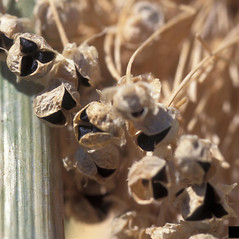 Fruits: Allium cepa. ~ By Gerald Holmes. ~ Copyright © 2020 CC BY-NC 3.0. ~  ~ Bugwood - www.bugwood.org/