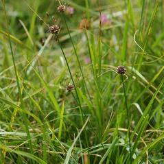 Plant form: Allium oleraceum. ~  ~ Copyright © 2021. ~