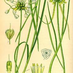 Plant form: Allium oleraceum. ~ By Otto Wilhelm Thome. ~  Public Domain. ~  ~ commons.wikimedia.org/wiki/Image:Illustration_Lagurus_ovatus0.jpg