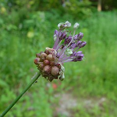 Inflorescences: Allium vineale. ~ By Arthur Haines. ~ Copyright © 2020. ~ arthurhaines[at]wildblue.net