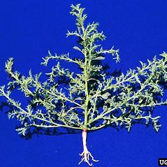 Plant form: Amaranthus albus. ~ By Steve Dewey. ~ Copyright © 2021 CC BY-NC 3.0. ~  ~ Bugwood - www.bugwood.org/