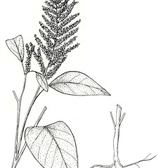 Plant form: Amaranthus cruentus. ~ By New York State Museum. ~ Copyright © 2021 New York State Museum. ~ www.nysm.nysed.gov/imagerequest