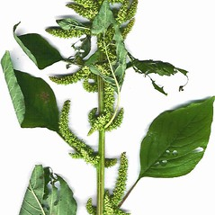 Plant form: Amaranthus hybridus. ~ By Forest & Kim Starr. ~ Copyright © 2020 CC BY-NC 3.0. ~  ~ Bugwood - www.bugwood.org/