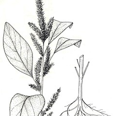 Plant form: Amaranthus hybridus. ~ By New York State Museum. ~ Copyright © 2021 New York State Museum. ~ www.nysm.nysed.gov/imagerequest